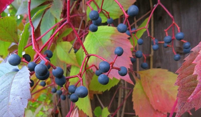 Плоды девичьего винограда обладают сильным вяжущим эффектом, способны вызвать отравление