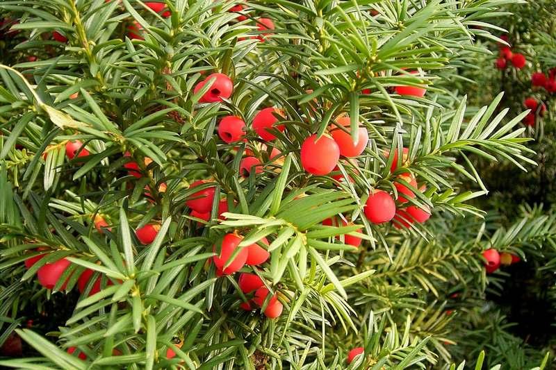 Плоды тиса ягодного отличаются повышенной токсичностью