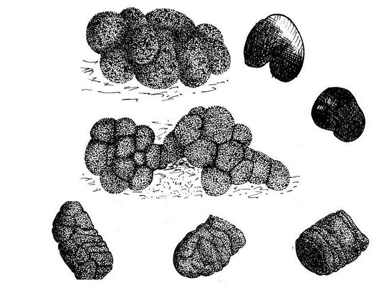 Помет диких кабанов при питании разной пищей