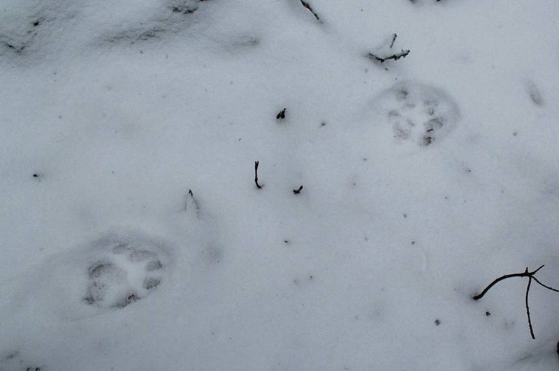 Поволока указывает на противоположное направление хода хищной кошки