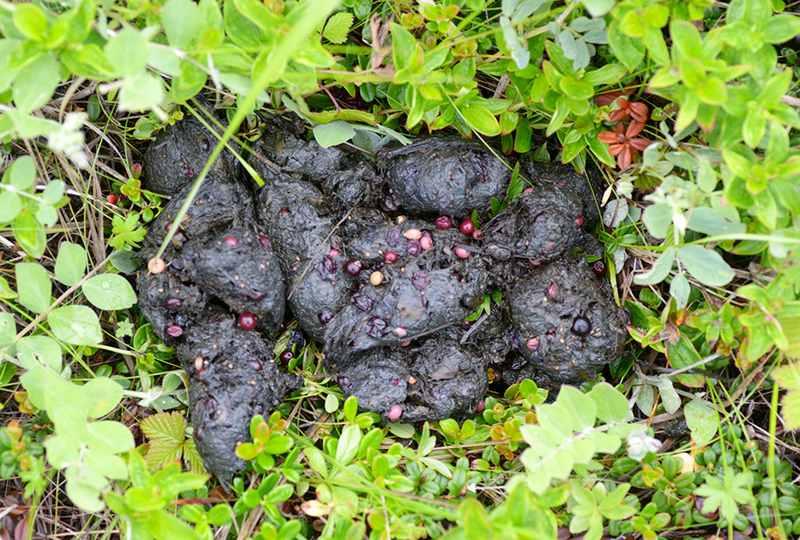 Пребывание медведя в ягодниках выдают в кучи помета