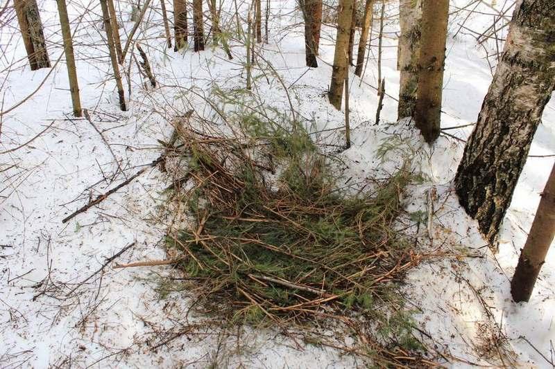 Признаки близкого расположения берлоги - разбросанные еловые ветки, мох и листья