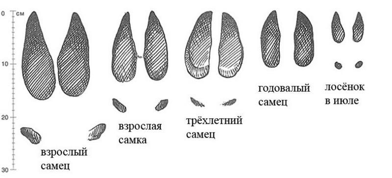 Размеры отпечатков следов лося зависят от пола и возраста животного