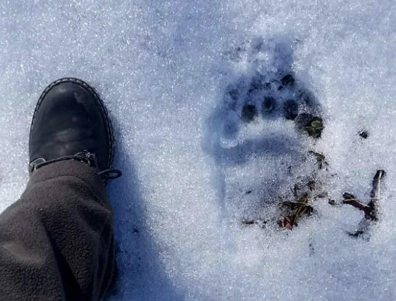 Рекомендуется оценивать свежесть следов медведя по своим собственным отпечаткам подошв