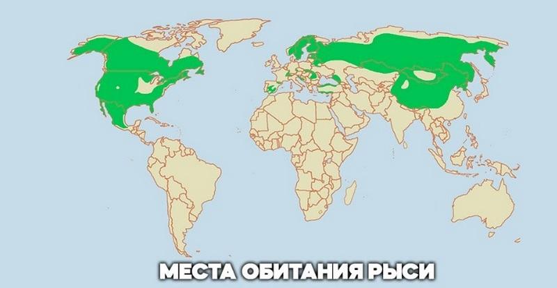Рысь обитает преимущественно в лесах Северного полушария планеты