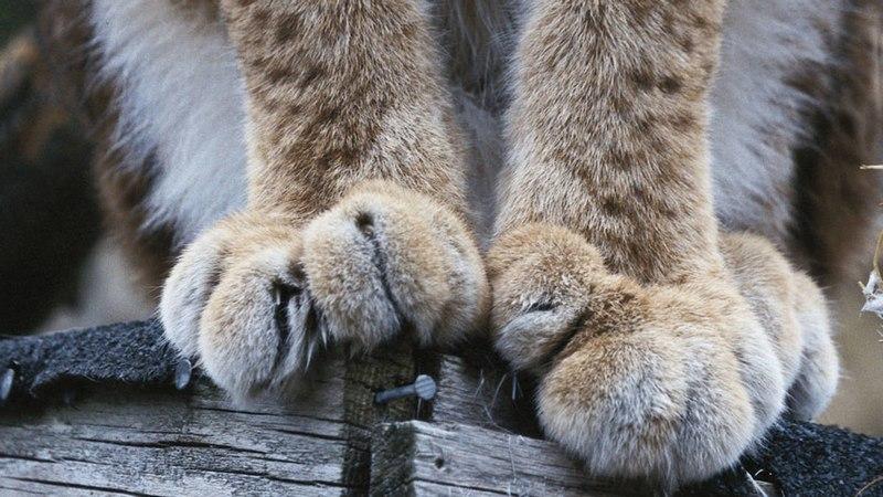 Рысь относится к пальцеходящим хищникам