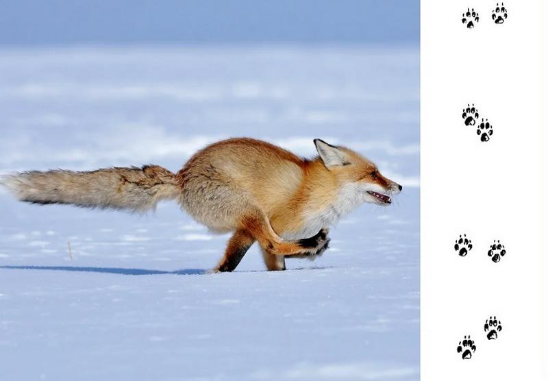 След лисицы, бегущей галопом