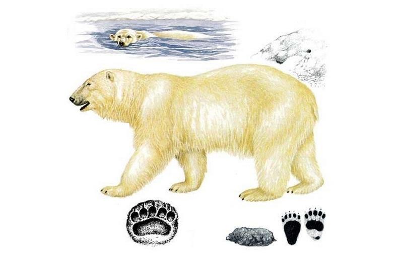 Следы лап белого медведя