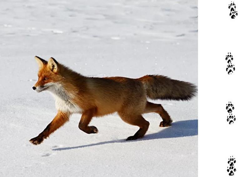 Следы лисы, бегущей легкой рысью