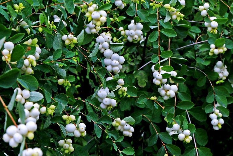Снежноягодник – красивое растение, особенностью которого являются белоснежные ягоды