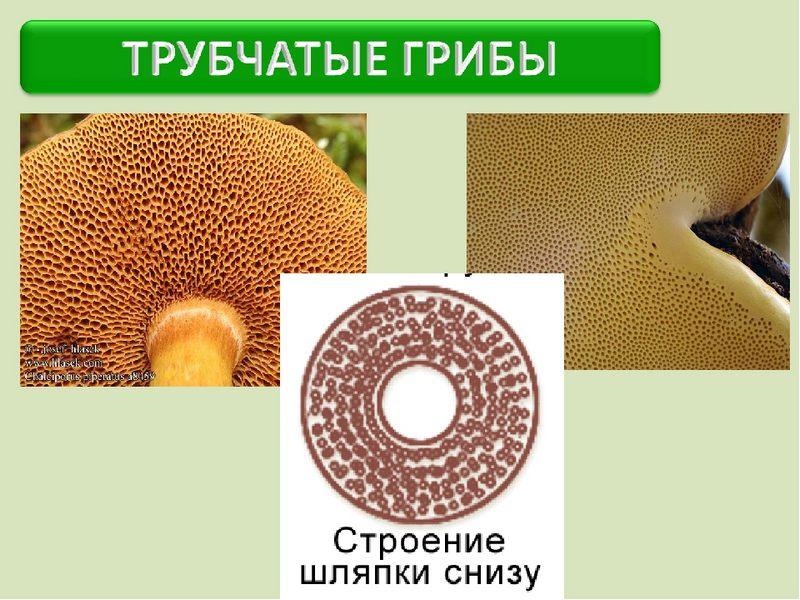 Строение трубчатых грибов