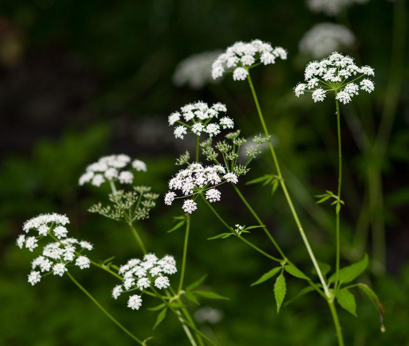 Цикута - токсичное растение, которое может вызвать тяжелые осложнения вплоть до смертельного исхода