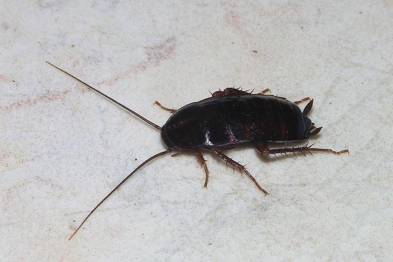 Тараканы сами по себе безвредны, однако могут переносить кишечные вирусы