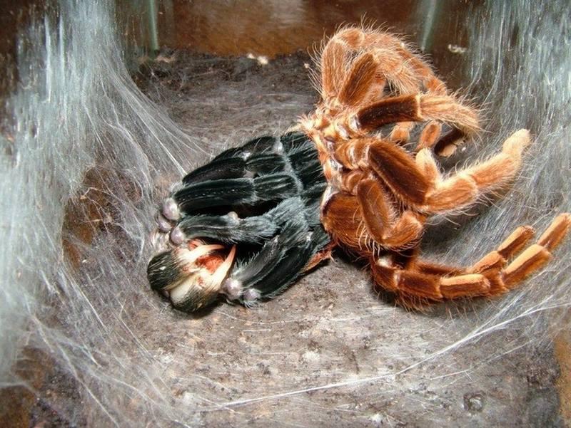 Терафоза блонда - крупный паук, ведущий ночной образ жизни