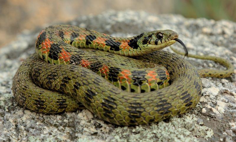 Тигровый уж - дальневосточная змея, которая обитает в лесистых местностях поближе к воде