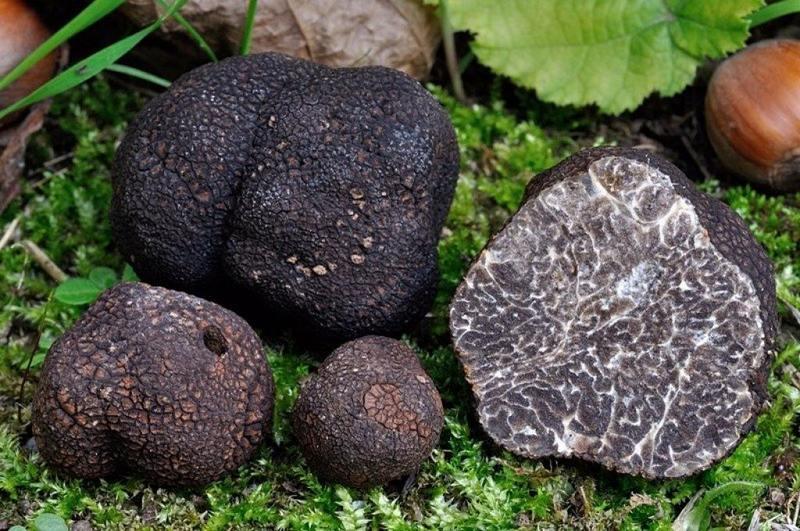 Трюфель - деликатес, который способен раскрыть свои вкусовые качества только в свежем виде