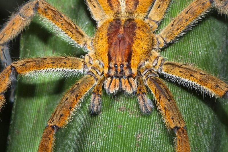 Укус блуждающего тигрового паука может сопровождаться серьезными осложнениями из-за токсичности яда