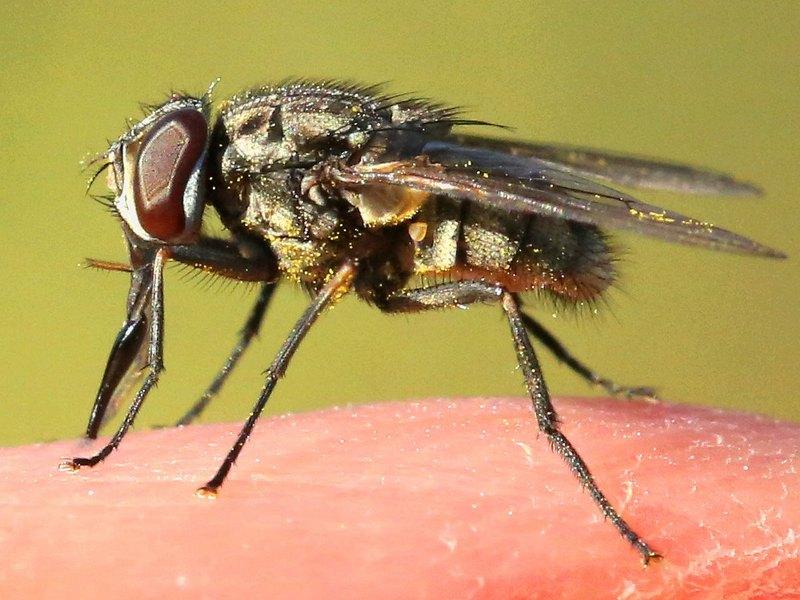 Укус мухи жигалки опасен попаданием в кровь патогенных микроорганизмов