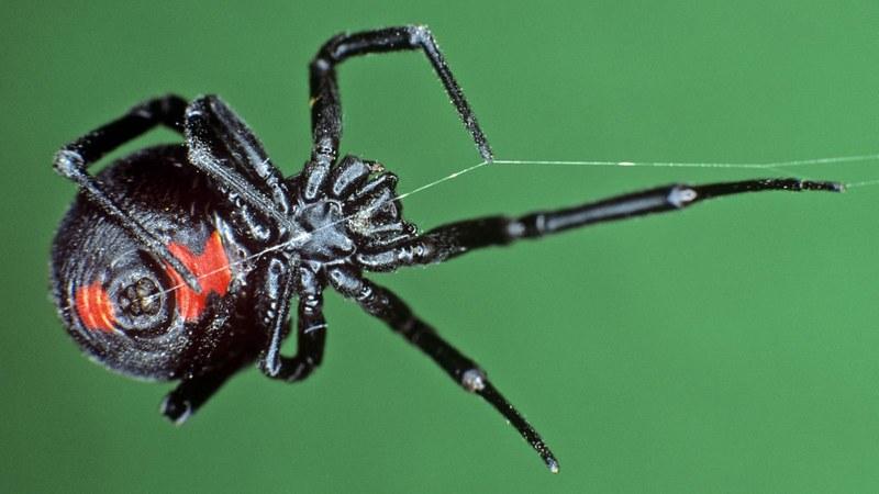 Укус самки черной вдовы может оказаться смертельным для человека
