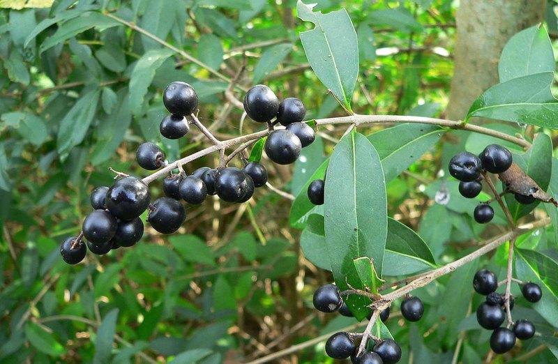 В ягодах бирючины обыкновенной содержится вещество соланин, которое вызывает отравление