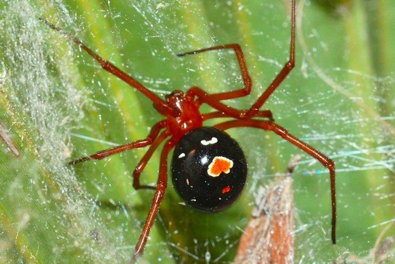 Вдова Бишопа - ядовитый паук, нападающий только в моменты опасности, с целью самообороны