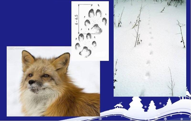 Внимательно рассматривая следы, принадлежащие лисице, можно определить ее направление и характер шага животного