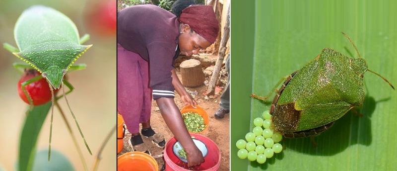 Во многих африканских странах употребление в пищу щитников считается нормой