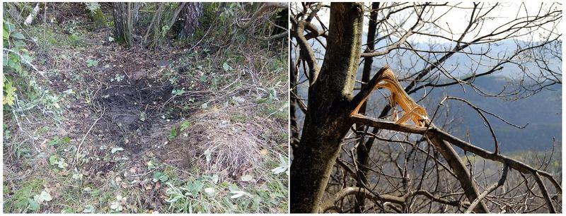 Во время гона лоси вытаптывают участки леса и роют землю