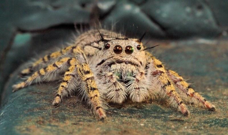 Волосатый паук имеет сильный токсичный яд, который он вырабатывает в больших количествах