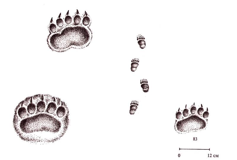 Возраст медведя можно определить по размеру оттиска лап