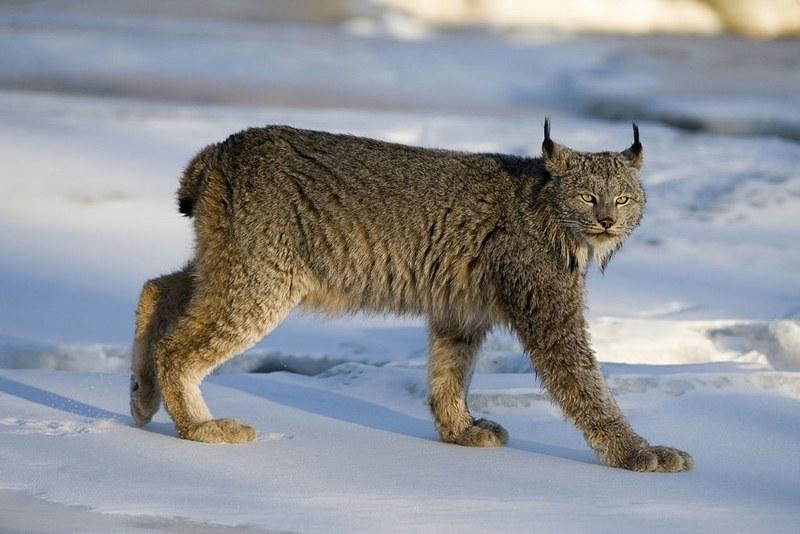 Взрослая рысь весит около 30 кг, обладает средним телосложением и высокими конечностями