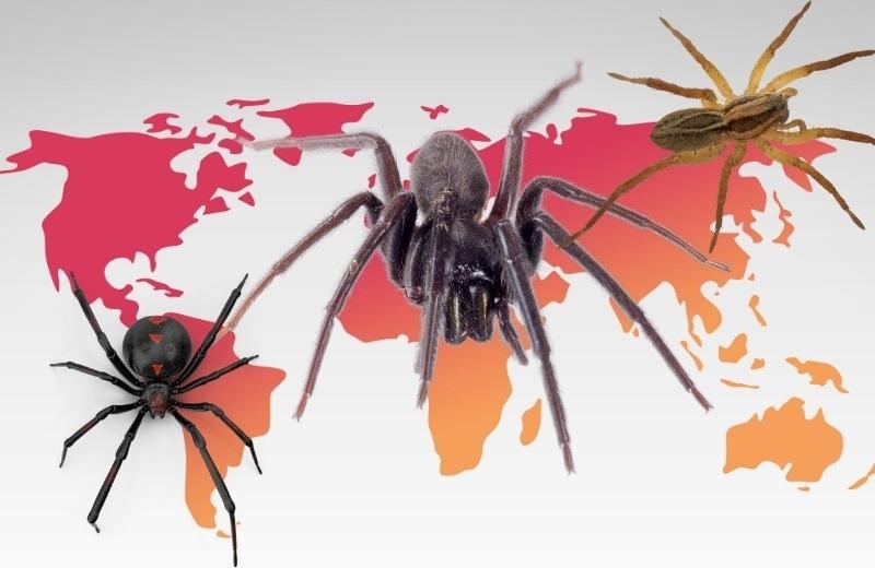 Ядовитые пауки обитают практически на всех континентах мира