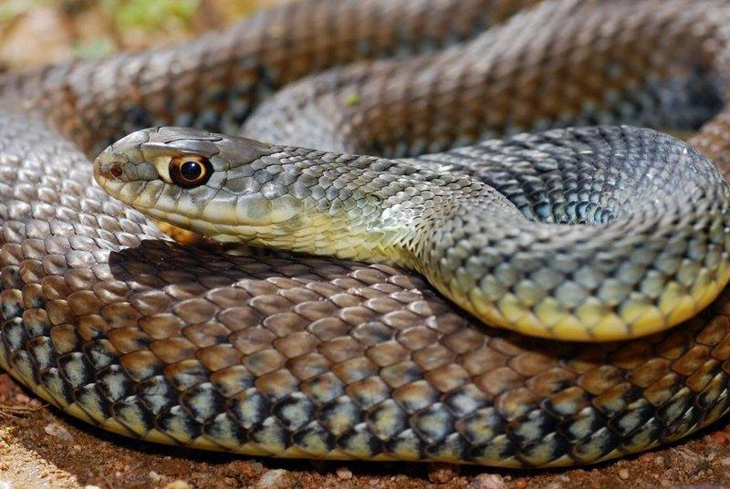 Ящеричная змея - крупная рептилия, отличающаяся быстротой передвижения и пристрастием к поеданию пресмыкающихся