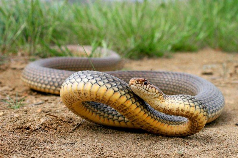 Желтобрюх - крупная змея, обладающая агрессивным характером