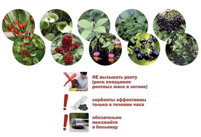 Нужно помнить, что нельзя вызывать рвоту при отравлении ягодами
