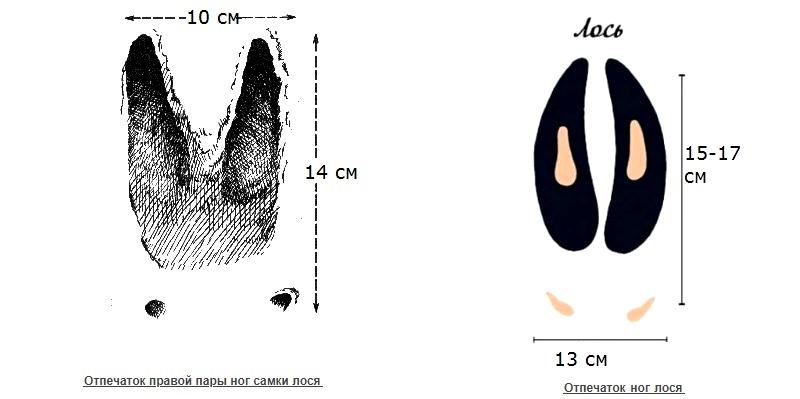 Отпечатки следов взрослого лося-самца и самки