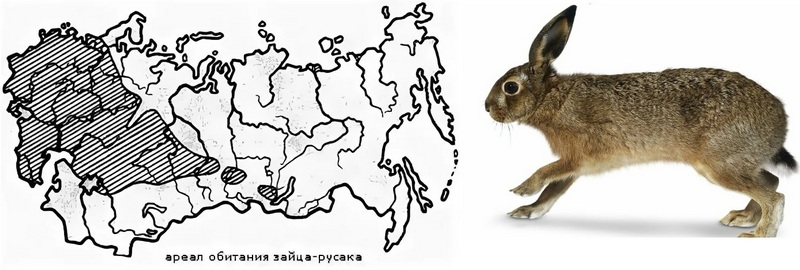 Ареал обитания зайца русака в России