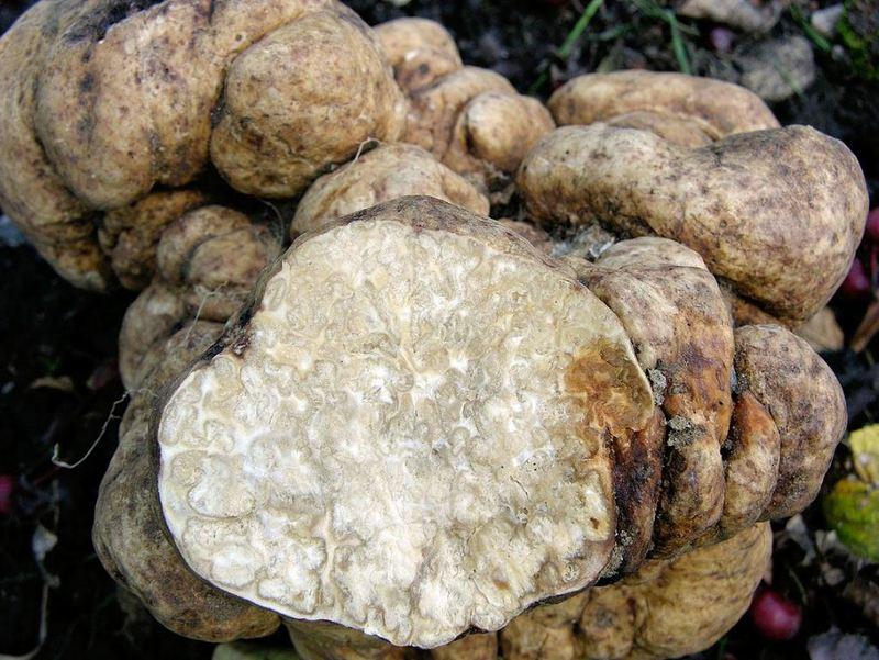 Белый трюфель - подземный гриб, считающийся деликатесом