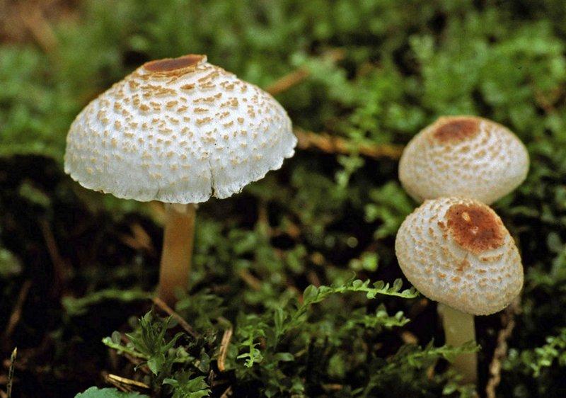 Чешуйница гребенчатая при употреблении в пищу может вызывать отравление