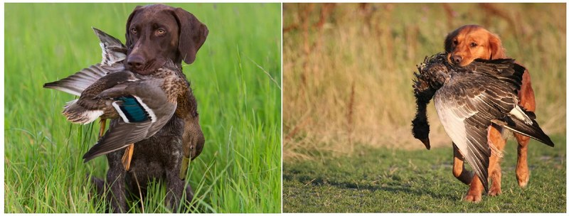 Для охоты на уток подойдут охотничьи собаки любых пород