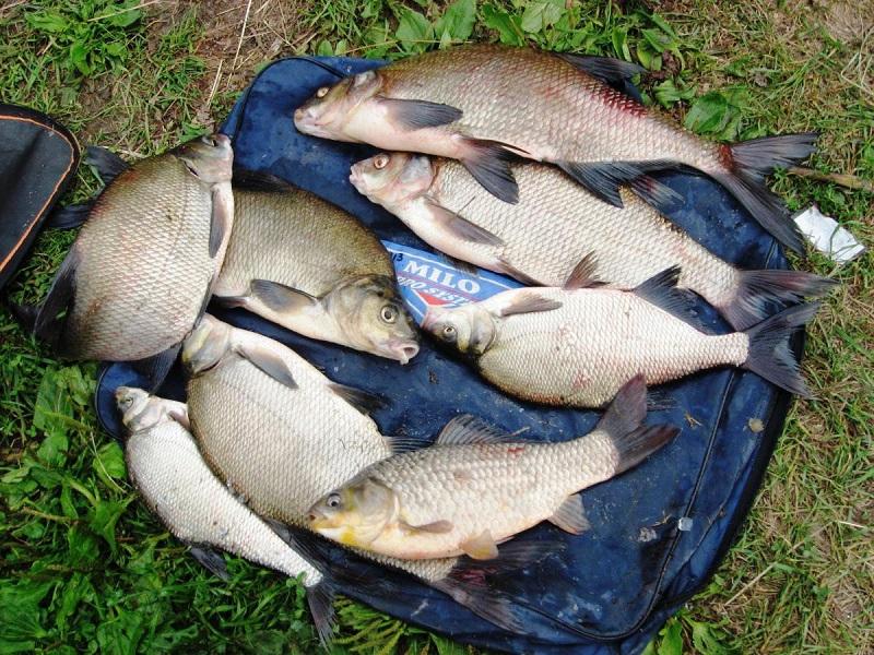 Хорошая уха получается из живой, только что выловленной рыбы.