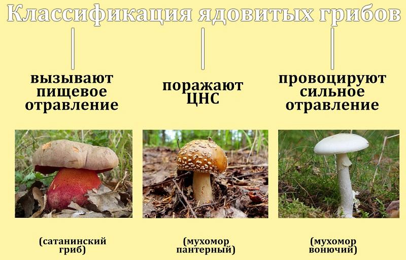 Классификация ядовитых грибов