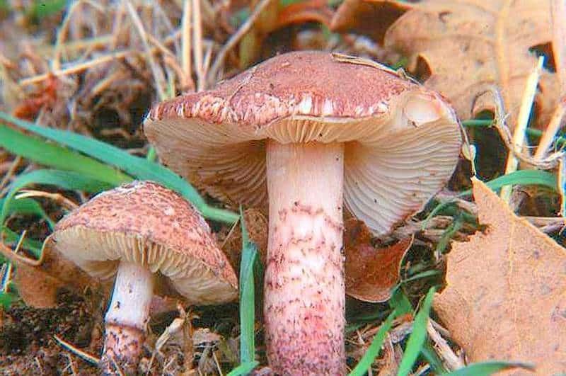 Лепиота розовая - относится к несъедобным грибам, которые вызывают интоксикацию