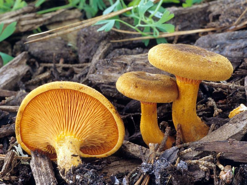Ложные лисички – грибы, употребление которых может вызвать симптомы отравления