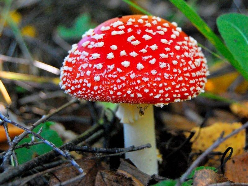 Мухомор красный – ядовитый галлюциногенный гриб, который может стать причиной сильнейшей интоксикации
