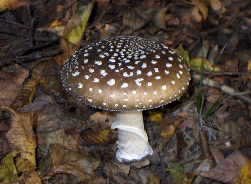 Мухомор пантерный - смертельно опасный гриб, содержащий опасные токсины - мускарин и мускаридин