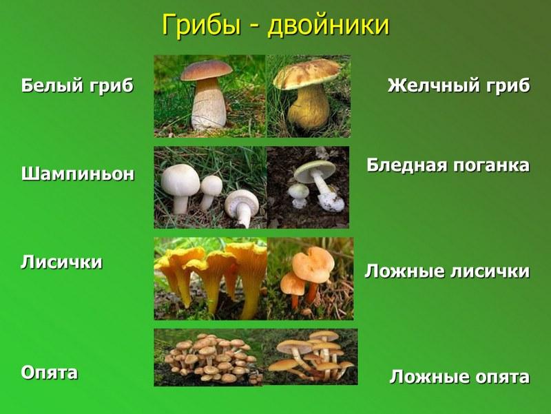 Опасные двойники съедобных грибов