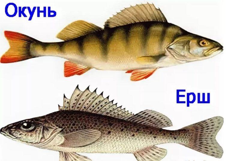 Опытные рыболовы советуют для ухи использовать речных представителей — окуня и ерша