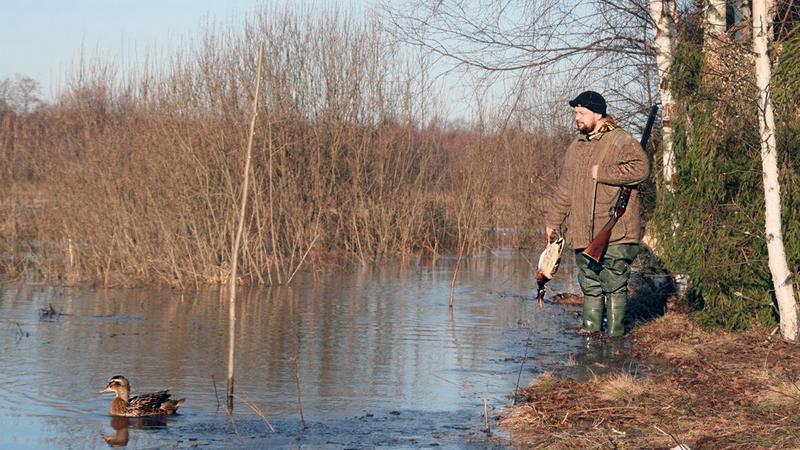Перед охотой подсадных уток выпускают к водоему, чтобы птица привыкла к местности