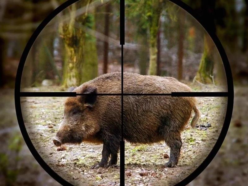 Перед тем как отправиться на охоту, следует изучить убойные места кабана